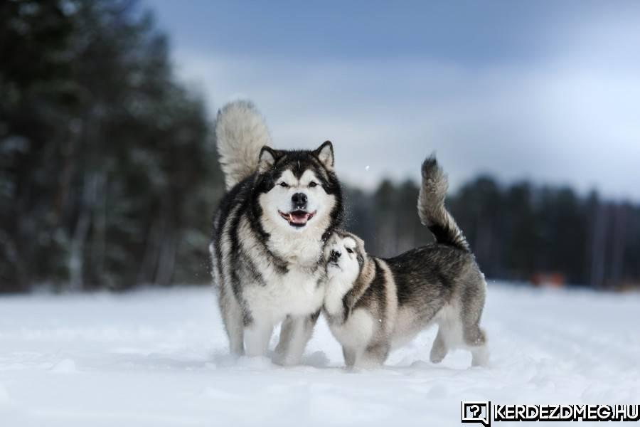 Hasonlóan néz ki mint a huskyk, de náluk nagyobbak