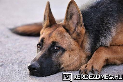 RE: Melyik kutya fajta szerintetek a legcukibb?